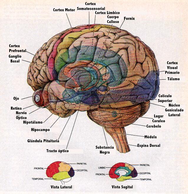 El cerebro humano es todavia